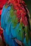Зелен-подогнали chloropterus Ara ары стоковые фото