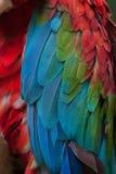 Зелен-подогнали chloropterus Ara ары стоковая фотография rf