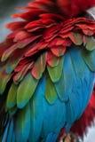 Зелен-подогнали chloropterus Ara ары стоковое изображение rf