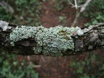 Зелен-серый лишайник на ветви дерева в Свазиленде Стоковая Фотография