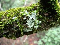 Зелен-серый лишайник на ветви дерева с мхом в Свазиленде Стоковые Изображения RF