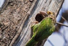 Зелен-ушастый barbet Стоковая Фотография RF