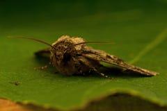 Зелен-brindled полумесяц, oxyacanthae Allophyes Стоковое Фото