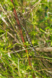 Зелен-striped более Darner Dragonfly Стоковые Изображения RF