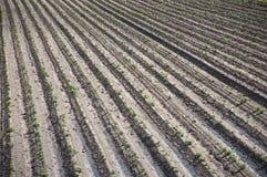 Зиги картошки Стоковое Фото