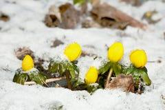 зима аконита Стоковая Фотография RF