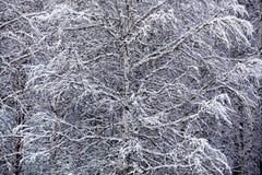 Зима березы Стоковая Фотография RF