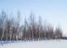 Зима берез Стоковые Изображения