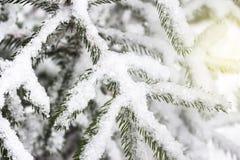 зима белизны снежинок предпосылки голубая Елевая ветвь покрытая с снегом стоковые фотографии rf