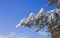 Зима Белый снег на ветви сосны Стоковое Изображение