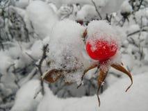 зима близкой клюквы ягоды сочная зрелая поднимающая вверх Стоковые Изображения