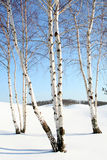 зима валов березы Стоковое Фото