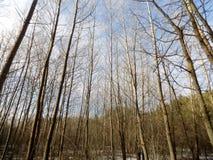 зима вектора иллюстрации предпосылки красивейшая ландшафт пущи дня солнечный Большое красивое дерево Стоковая Фотография RF