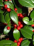 зима вертикали ягод Стоковые Изображения RF