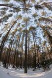 зима взглядов сосенки пущи сферически Стоковые Фото
