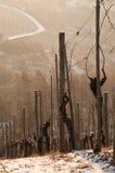 зима виноградника лоз рассвета Стоковые Изображения RF