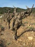 зима виноградника Стоковые Изображения RF