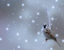 зима воробья птицы Стоковые Фотографии RF