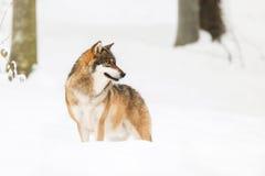 Зима волчанки волчанки волка серого волка Стоковая Фотография