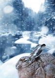 зима времени зайцев Стоковая Фотография