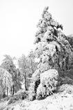 Зима в лесе горы в черно-белом Стоковое Изображение