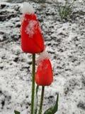 Зима в зацветать весны и тюльпанов Стоковые Изображения