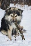 Зима в древесинах в собаке снега жует ручку стоковые изображения rf