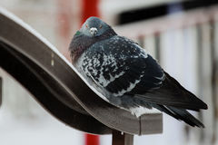 Зима голубя птицы стоковое изображение