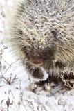 зима дикобраза Стоковое Фото