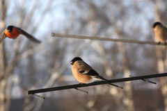 зима дня bullfinches Стоковые Фото