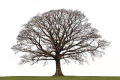 зима дуба Стоковая Фотография RF
