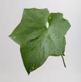 зима дыни листьев Стоковые Фото