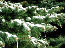 зима ели Стоковые Изображения RF