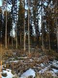Зима лесных деревьев Стоковое Изображение