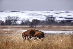 зима зубробизона Стоковое фото RF