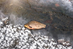 Зима карпа рыб стоковое фото rf