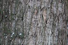 Зима коры дерева Стоковые Фотографии RF
