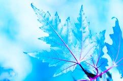Зима красивого кленового листа ледистая Стоковое фото RF
