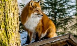 зима красного цвета лисицы Стоковая Фотография