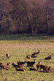зима красного цвета табуна оленей Стоковое фото RF