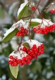 зима красного цвета ягод стоковая фотография