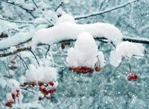 Зима, красные ягоды в снеге Стоковое Изображение