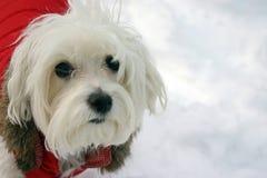 зима куртки собаки мальтийсная Стоковое Изображение