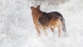 Зима немецкой овчарки на поле акции видеоматериалы