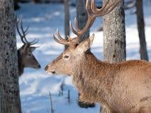 зима оленей мыжская красная Стоковое фото RF