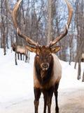 зима оленей мыжская красная Стоковая Фотография RF