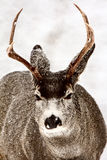зима осляка оленей самеца оленя Стоковая Фотография