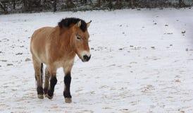 зима лошади одичалая Стоковое Фото