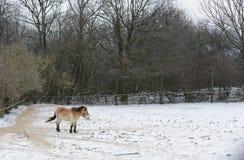 зима лошади одичалая Стоковая Фотография