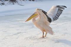 зима пеликана розовая Стоковое Изображение